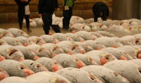 Tuna for sale in Tsukiji market in Tokyo, March 2012. Photo: Susan Waugh.