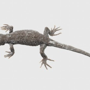 Black-eyed gecko (Mokopirirakau kahuturae) holotype, ex Ecology Division collection. Te Papa specimen number RE.001817, collected by A.H. (Tony) Whitaker at Kahutara Saddle, Seaward Kaikoura Range, on 26 June 1970. Image: Te Papa