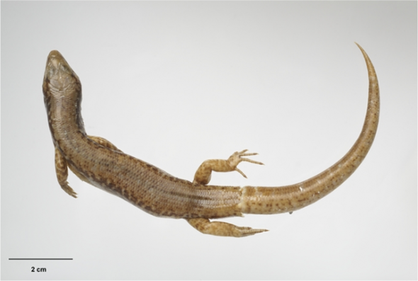 Whitaker's skink (Oligosoma whitakeri) holotype, ex Ecology Division collection. Te Papa specimen number RE.001817, collected by A.H. (Tony) Whitaker on Middle Island, Mercury Islands, on 26 June 1970. Image: Te Papa