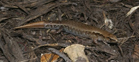 Ornate skink (Oligosoma ornatum), Taranga / Hen Island. There were two ornate skinks from Taranga in the Ecology Division reptile collection. Photo: Colin Miskelly, Te Papa.