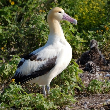 What the adults look like – Short tailed albatross adult and chicks. Photo Jlfutari at en.wikipedia
