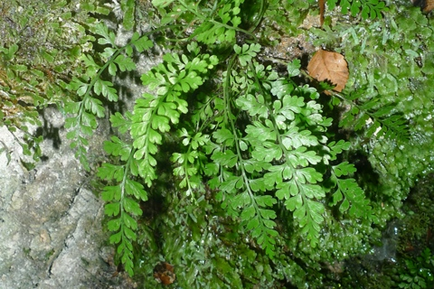 The cave spleenwort, Asplenium cimmeriorum, only occurs in limestone areas of the west coasts of both the North and South Islands. It is commonly found at cave entrances. We found a new sub-population in the Charleston Conservation Area. Photo Leon Perrie. © Te Papa.