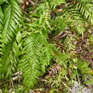 Some authorities treat the small plants at lower right as a distinct species, swamp kiokio (Blechnum minus). Others regard them as part of a variable kiokio (Blechnum novae-zelandiae), big plants of which are at left. Photo Leon Perrie. © Te Papa.
