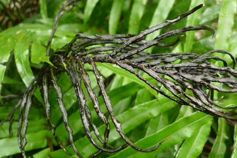 Despite its alien-looks, this is the fertile, spore-producing frond of kiokio, Blechnum novae-zelandiae. Parts of 'normal'-looking sterile fronds are in the background. Most Blechnum ferns produce markedly different-looking fertile and sterile fronds. Photo Leon Perrie. © Te Papa.