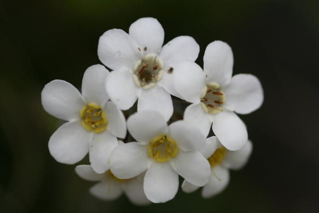 "Flowers of Myosotis aff. australis ""white"" from the Chalk Range, Marlborough, South Island (WELT SP090551). Photo by Heidi Meudt, copyright Te Papa."