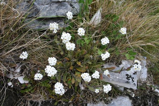 "Myosotis aff. australis ""white"" in the Chalk Range, Marlborough, South Island (WELT SP090551). Photo by Heidi Meudt, copyright Te Papa."