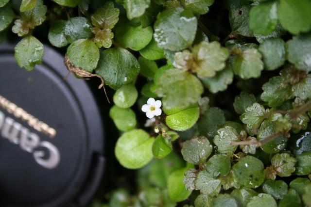 Flower of Myosotis spathulata, Hukanui Station, Hawke's Bay, North Island (WELT SP090628). Photo by Heidi Meudt, copyright Te Papa.