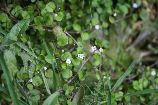 Myosotis spathulata, Hukanui Station, Hawke's Bay, North Island (WELT SP090628). Photo by Heidi Meudt, copyright Te Papa.