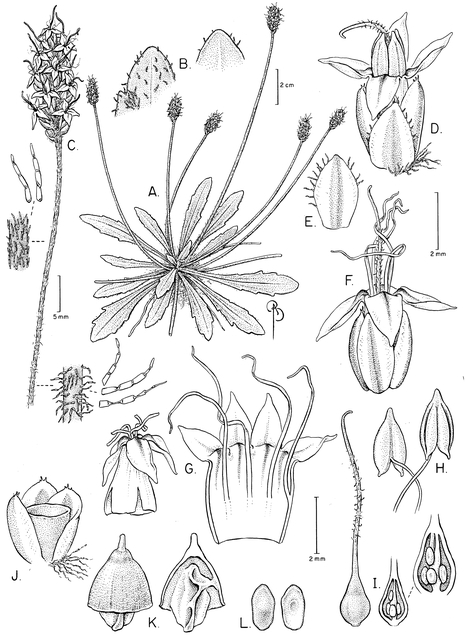 Botanical illustration of Plantago udicola. Copyright Bobbi Angell.