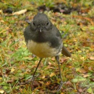 South Island robin, Petroica australis australis, are regular companions during forest walks in many parts of the South Island. Photo Leon Perrie. © Te Papa.
