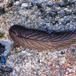 c. 10 cm long slug, Stockton. I nearly stepped on it during my excitement of finding a couple of uncommon ferns. The slug's impressive size was enough to distract me from the ferns, momentarily. Photo Leon Perrie. © Te Papa.