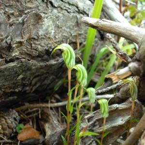 Green hood orchid (Pterostylis alobula). Photo CA Lehnebach,  © Te Papa.