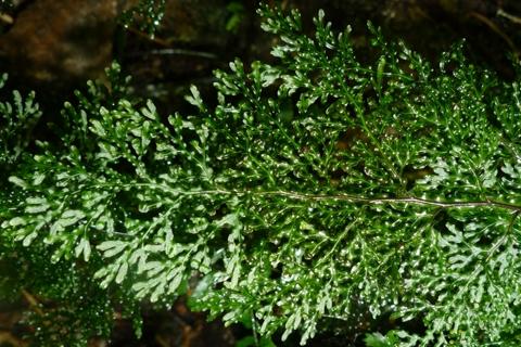 Hymenophyllum_flexuosum_WrightHill3