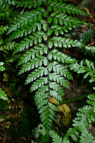 First record of the hybrid between Polystichum neozelandicum and P. silvaticum. Photo © Leon Perrie.