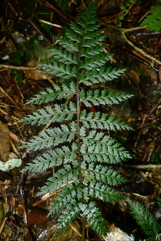The shield-less shield fern Polystichum silvaticum. Photo © Leon Perrie.