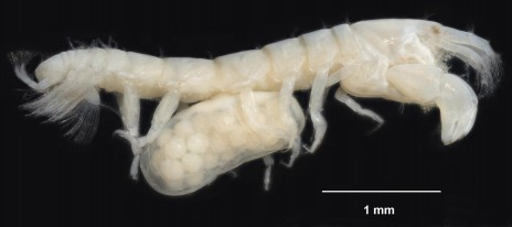 A new tanaid species in the genus Zeuxo from the Auckland Islands. All tanaids have a pair of quite large pinchers, as this one does. Note also the eggs under the body of this female, carried in a brood-pouch formed by membranes that grow from the inner base of its legs. (© Te Papa, photographer Jean-Claude Stahl).
