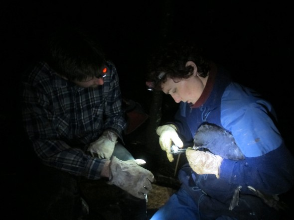 BirdLife's Mark Fuller and Susan Waugh from Te Papa deploy a gps logger on Westland Petrel Procellaria Westlandica