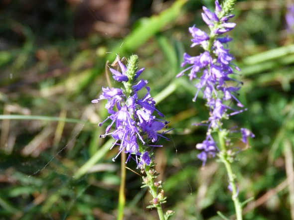 "Veronica spicata flowers from the ""Mainzer Sand"", Mainz, Germany. Sept. 2012. Photo by Aaron Liston."