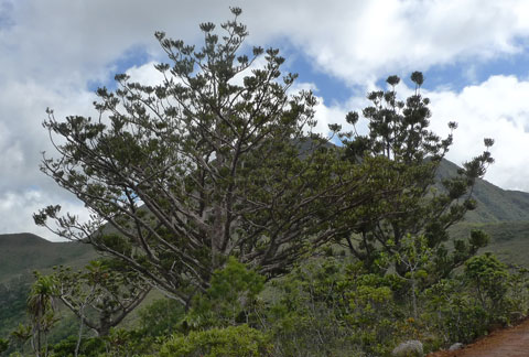 I've seen a lot of New Zealand's magnificent kauri, Agathis australis, so it was fascinating to see some of the diversity of Agathis in New Caledonia. Many New Caledonia Agathis also appear to be known as kauri (or kaori). The Agathis species on Mount Panie, known as Dayu Biik, is subject to dieback similar to that being experienced by the New Zealand kauri. Photo Leon Perrie. © Te Papa.