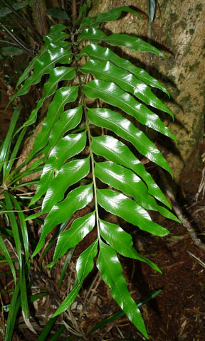 Asplenium oligolepidum. An uncommon epiphyte. Preliminary DNA analyses have suggested that its relationship to New Zealand's Asplenium oblongifolium and Asplenium obtusatum is not as close as one might suspect from its looks. Photo Leon Perrie. © Te Papa.