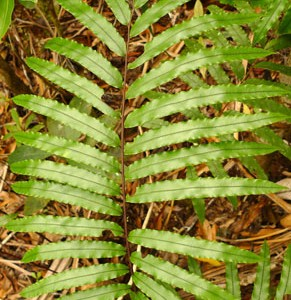Blechnum corbassonii. A fairly common forest fern. Part of a group of New Caledonian Blechnum ferns that I found difficult to work with, but which are apparently related to Blechnum novae-zelandiae. Photo Leon Perrie. © Te Papa.