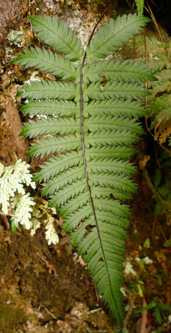 Blechnum diversifolium. Unusual for a Blechnum in that the frond is twice-divided. Blechnum fraseri in New Zealand is similar. Photo Leon Perrie. © Te Papa.