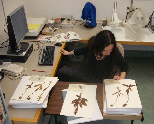 Joyce Colussi-Mas gathering information from collection details written on specimens labeles