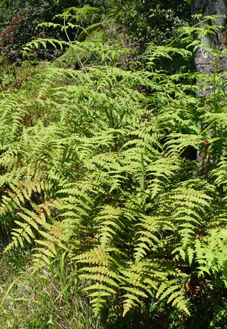 Histiopteris incisa, water fern. A relative of bracken (Pteridium esculentum), but generally found at wetter sites. New Caledonian plants have a 'tougher' look compared to those in New Zealand. Photo Leon Perrie. (c) Te Papa.
