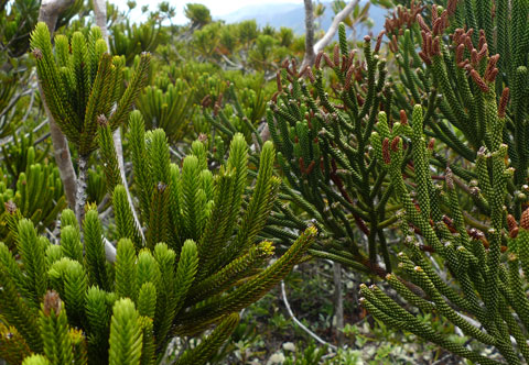 Even some of the other plants look like araucarians. These Araucariaceae mimics are: at left, the cedar Neocallitropsis pancheri, in the Cupressaceae, and; at right, a species of Dacrydium, with male cones, in the Podocarpaceae, and a reasonably close relative of New Zealand's rimu! Photo Leon Perrie. © Te Papa.
