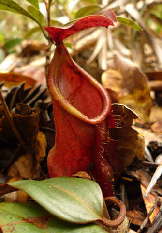 As I knelt to collect a fern, I was stunned to find myself surrounded by pitcher plants, Nepenthes vieillardii. The 'pitchers' are traps for catching insects. Photo Leon Perrie. © Te Papa.