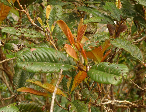 The Nothofagus, or southern beeches, in New Caledonia belong to a tropical sub-group, and do not look anything like the species in New Zealand. Photo Leon Perrie. © Te Papa.