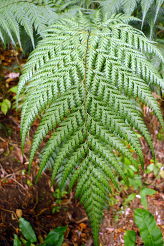 Another threat to New Caledonia's vegetation is browsing by introduced deer and pigs. Conservation International are trialling using the amount of browse on the fern Orthiopteris firma to monitor the effectiveness of animal control projects. Photo Leon Perrie. © Te Papa.