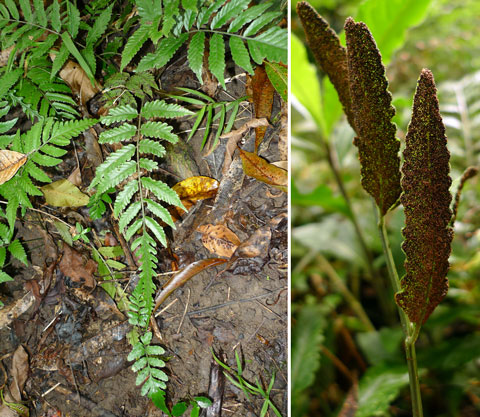 Bolbitis palustris. Bolbitis ferns have different-looking fertile and sterile fronds. On the fertile fronds (right), the reproductive structures are spread over the entire undersurface. In some species, including this one, sterile fronds can vegetatively produce new plants (bottom left). The closest relatives in New Zealand are perhaps Lastreopsis and Rumohra. Photo Leon Perrie. © Te Papa.