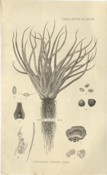 Stereocaulon buchanani, illustration from Transactions and Proceedings of the New Zealand Institute, Volume 7, 1874.