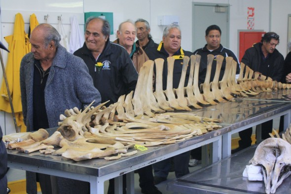 Whakatohea Iwi visit Te Papa and their tohorä, copyright Whakatohea Maori Trust Board