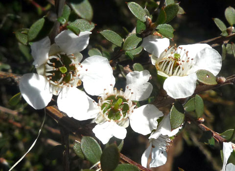 Mänuka, Leptospermum scoparium. One of many native plants put to many uses. Captain Cook used it with rimu to make beer.