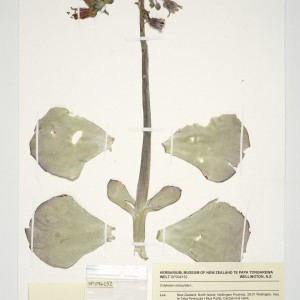 Cotyledon orbiculata specimen. The clear bag will be folded and placed in the left hand packet. Photo: Jean-Claude Stahl, Te Papa