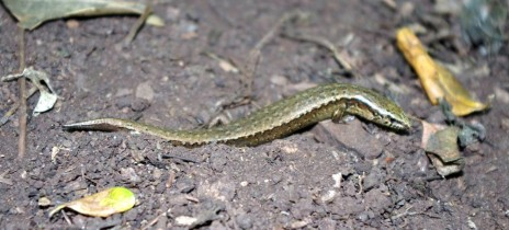 Brown skink (Oligosoma zelandicum) on Titi Island. Image: Colin Miskelly, Te Papa