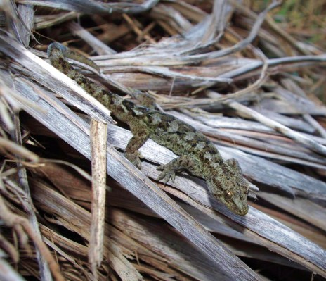 Common gecko (Woodworthia maculata) on dead coastal flax/wharariki on Titi Island. Image: Colin Miskelly, Te Papa