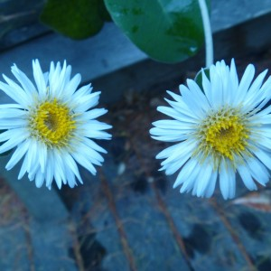 Marlborough rock daisies (Pachystegia insignis).