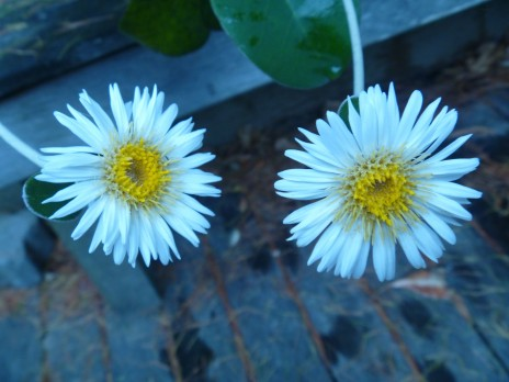 Marlborough rock daisies (Pachystegia insignis). Photo credit: Lara Shepherd
