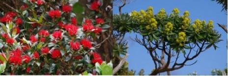 Flowering southern rata and Stewart Island tree-groundsel (Brachyglottis stewartiae) on Green Island, December 2012. Images: Colin Miskelly