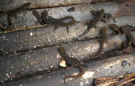 Geckos (Woodworthia 'Otago large') on Green Island, December 2012. Image: Colin Miskelly