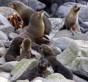New Zealand fur seal cows and pups on Green Island, December 2012. Image: Colin Miskelly