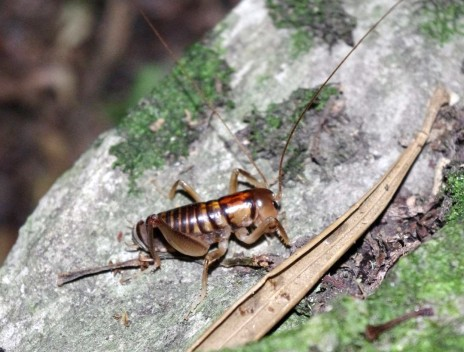 Ground weta (Hemiandrus sp.) on Titi Island. Image: Colin Miskelly, Te Papa