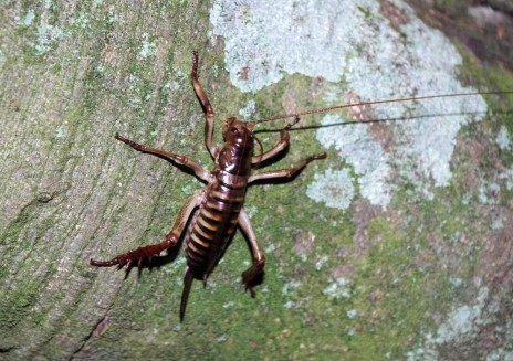Female Wellington tree weta (Hemideina crassidens) on Titi Island. Image: Colin Miskelly, Te Papa