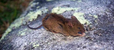 A mouse caught on Ruapuke Island. Image: Colin Miskelly