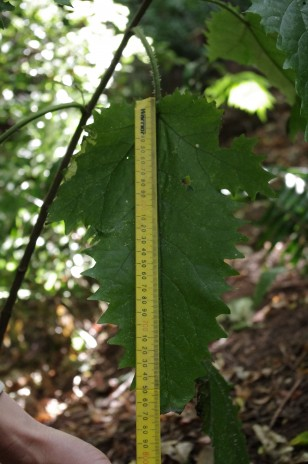 Ongaonga leaf - note the ruler starts at 500 mm. Photo credit: Colin Miskelly