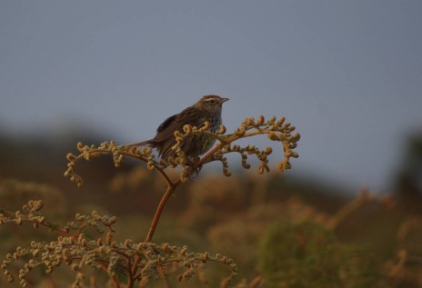 Fernbird photographed on Ruapuke Island, December 2012. Image: Colin Miskelly