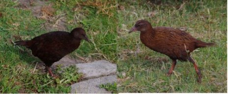 A pair of weka on Ruapuke Island, December 2012. Dark morph female on left, brown morph male on right. Images: Colin Miskelly